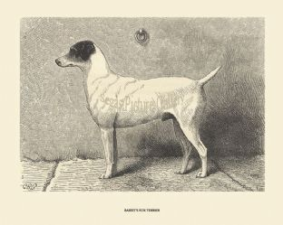 Basset's Fox Terrier